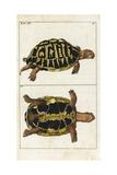 Spur-Thighed Tortoise or Greek Tortoise  Testudo Graeca