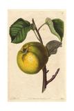 Oslin Apple  Malus Domestica