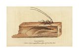 Wood Boring Beetle