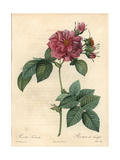 Frankfort Rose or Empress Josephine Rose  Rosa Francofurtana