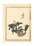 Osaran or Japanese Eria Orchid  Eria Reptans