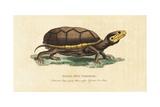 Eastern Mud Turtle  Kinosternon Subrubrum