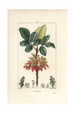Pistachio Nut Tree  Pistacia Vera