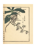 Nagoran or Japan Sedirea Orchid  Aerides Japonicum Reichb