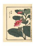 Senrigoma or Chinese Foxglove  Rehmannia Japonica