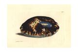 Tortoise Cowry  Chelycypraea Testudinaria