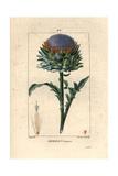 Globe Artichoke  Cynara Cardunculus