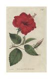 China-Rose Hibiscus  Hibiscus Rosa Sinensis