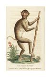 Pig Tailed Macaque  Macaca Nemestrina