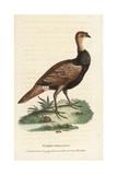 Turkey Pheasant Hybrid  Meleagris Hybrida