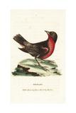 Red-Breasted Blackbird  Sturnella Militaris