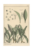 Lily of the Valley  Art Nouveau Botanical