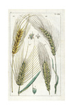 Barley  Winter Barley  Sprat Barley and Six-Row Barley