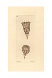 Cup Vorticella  Vorticella Cyathus  Ciliate Protozoan