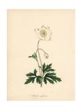 Snowdrop Anemone  Anemone Sylvestris