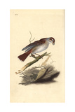 Red-Backed Shrike (Female)  Lanius Collurio