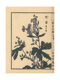 Monkshood  Aconitum Napellus
