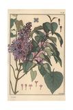 Lilac Botanical Study