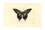 Asian Swallowtail  Papilio Xuthus