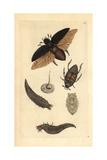 Great Water Beetle  Dyticus Piceus