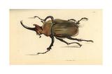 Dung Beetle  Megasoma Elephas