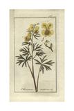 Yellow Monkshood  Aconitum Anthora
