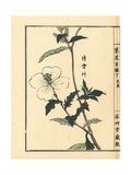 Matsuyoigusa or White Evening Primrose  Oenothera Odorata