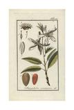 Almond Tree  Prunus Dulcis