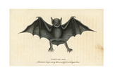 Greater Bulldog Bat  Noctilio Leporinus