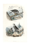 Eurasian Sparrowhawk and Northern Goshawk