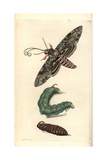 Convolvulus Hawk-Moth  Agrius Convolvuli