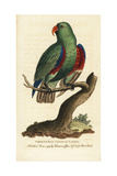 Green and Red Chinese Parrot  Eclectus Roratus