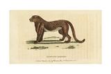 Cheetah or Hunting Leopard  Acinonyx Jubatus