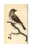 House Sparrow  Passer Domestica
