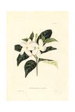 Crape Jasmine or Pinwheel Flower  Tabernaemontana Divaricata