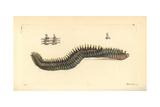 Rostrated Terebella Sea Worm  Terebella Rostrata