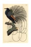 Le Nebuleux Bird of Paradise  Paradisea Nigricans