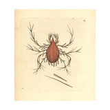 Long-Legged Cannibal Mite  Cheletomorpha Lepidopterorum