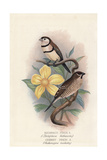Double-Barred Finch and Plum-Head Finch