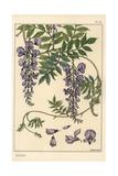 Glycine Botanical Study
