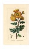 Chrysanthemum  Anthemis Artemisiaefolia  Native to China
