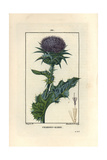 Milk Thistle  Silybum Marianum
