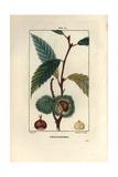 Sweet Chestnut Tree  Castanea Sylvestris  Showing Fruit and Nut