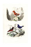 Guianan Cock-Of-The-Rock and Banded Cotinga