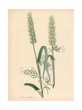 Common Wheat  Triticum Aestivum