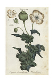 White Opium Poppy  Papaver Somniferum