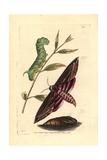Privet Hawk Moth  Sphinx Ligustri