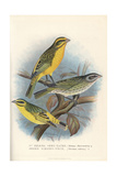 Yellow Canary and Yellow-Fronted Canary