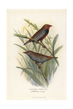 Painted Finch  Emblema Pictum