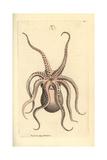 Horned Octopus  Eledone Cirrhosa